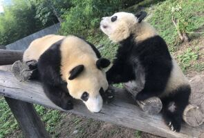 在大熊猫繁育研究中心,强生(居左)正在与小伙伴玩耍